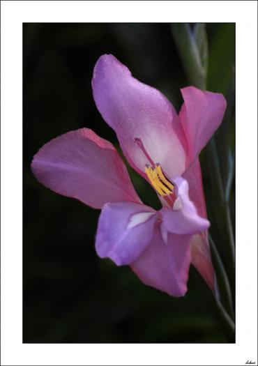 Gladiolo italicus