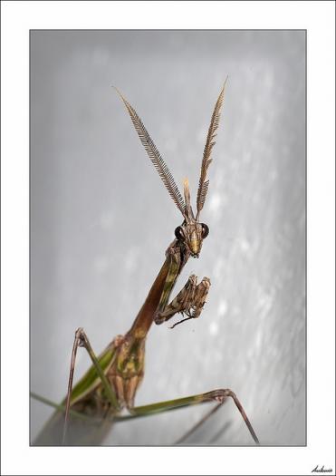 La mantis está rezando