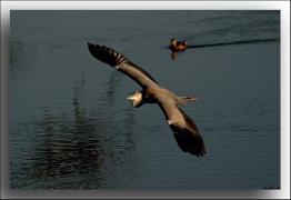 La garza y el pato